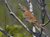 Brown Thrasher (Toxostoma Rufum) Perched on a Branch  Toronto  Ontario  Canada