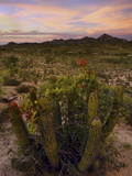 Bougainvillegrowing on an Organ Pipe Cactus (Stenocereus Thurberi) in the Desert at Sunset