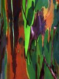 Multicolored Peeling Bark of Rainbow Eucalyptus (Eucalyptus Deglupta)
