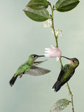 Green-Crowned Brilliants Nectaring and Pollinating at Ericaceae Flower (Heliodoxa Jacula)