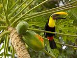Chestnut-Mandibled Toucan Eating Papaya Fruits (Ramphastos Swainsonii)  Costa Rica