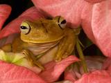 Gladiator Tree Frog (Hyla Rosenbergii)  Costa Rica