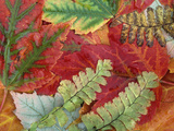 Fall Leaves of Red Maple and Five Finger or Maidenhair Ferns