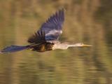 Anhinga Flying (Anhinga Anhinga) in South Texas  USA