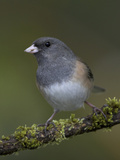A Dark-Eyed Junco (Junco Hyemalis) Perches on a Mossy Branch in Victoria  British Columbia