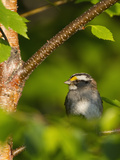 Male White-Throated Sparrow (Zonotrichia Albicollis)  New Hampshire  USA