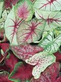 Caladium Leaves Showing Variegation and Venation