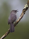 Gray Catbird (Dumetella Carolinensis) Male Vocalizing  Virginia  USA