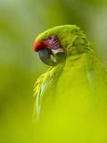 Great Green Macaw (Ara Ambiguus)