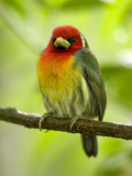 Red-Headed Barbet (Eubucco Bourcierii)  Costa Rica