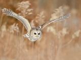 Barred Owl (Strix Varia) Hunting for Prey  Ontario  Canada