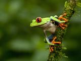 Red-Eyed Tree Frog (Agalychnis Callidryas)  Costa Rica