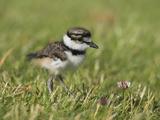 Killdeer Chick (Charadrius Vociferus) in the Grass in Victoria  British Columbia  Canada