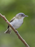 Red-Eyed Vireo (Vireo Olivaceus) Perched on a Branch  Ontario  Canada