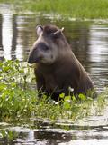 Lowland or South American Tapir (Tapirus Terrestris)  Captive