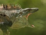 Black Spiny-Tailed Iguana (Ctenosaura Similis)  Costa Rica