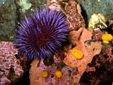 Purple Sea Urchin (Strongylocentrotus Purpuratus)  Seattle Aquarium  Washington