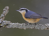 A Red-Breasted Nuthatch (Sitta Canadensis) Perches on a Branch  Toronto  Ontario  Canada