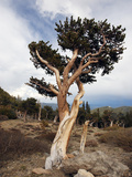 Bristlecone Pine (Pinus Aristata)  Mount Evans  Rocky Mountains  USA