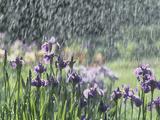 Siberian Iris Garden Flowers in the Rain