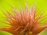 Jungle Cucumber Flower (Gurania)  Costa Rica