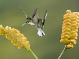 Coppery-Headed Emerald Hummingbirds (Elvircupreiceps) Fighting at Flowers of a Rattlesnake Plant
