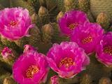 Beavertail Cactus Flowers (Opuntia Basilaris)  Mojave Desert  Joshua Tree National Park  California