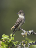 Olive-Sided Flycatcher (Contopus Cooperi) Perched on a Branch  Victoria  British Columbia  Canada