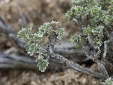 Low Sagebrush (Artemisia Arbuscula)  Great Basin National Park  Great Basin Desert  Nevada