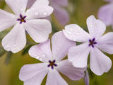 Longleaf Phlox Flowers (Phlox Longifolia)  Columbia River Gorge  Oregon  USA