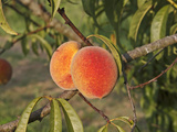 Peaches Ripening on the Tree (Prunus Persica)