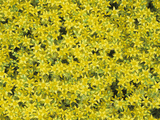 Dense Flower Growth of the Popular Ground Cover Sedum Acre
