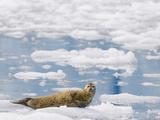 Harbor Seal on Ice  Phoca Vitulina  in Prince William Sound  Alaska  USA