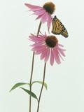 A Monarch Butterfly (Danaus Plexippus) on an Echinacea Flower
