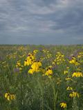 Coneflowers in Native Tallgrass Prairie under Gray Sky