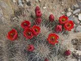 Claret Cup Cactus in Flower (Echinocereus Triglochidiatus Melanacanthus)
