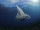 A Manta Ray (Manta Alfredi) Cruises over the Shallows Off UKumehame  Pacific Ocean  Maui  Hawaii