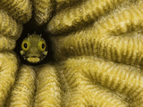 Spinyhead Blenny (Acanthemblemaria Spinosa) in a Hard Coral  Netherland Antilles  Bonaire