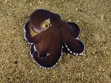 Veined Octopus (Octopus Marginatus)  Anilao  Philippines