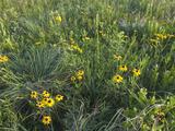 Native Tall Grass Prairie  Steele Prairie State Preserve  Cherokee County  Iowa  USA