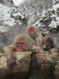 Japanese Macaques or Snow Monkeys in a Hot Spring (Macaca Fuscata)  Jigokudani Park  Japan