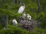 Wood Storks (Mycteria Americana) at Nest in a Rookery  Dungannon Plantation Heritage Preserve