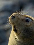 Galapagos Sea Lion, Zalophus Califoranius Wollebekii, South Plaza Island, Galapagos Islands Papier Photo par Gerald & Buff Corsi