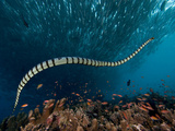 The Banded or Yellow-Lipped Sea Krait Swimming Among Fish Schools over Coral Reef