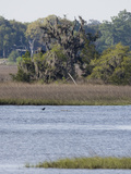 Smooth Cordgrass (Spartina Alterniflora) Tidal Salt Marshes  Stono River  Charleston