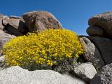 Brittlebush (Encelia Farinosa)  Joshua Tree National Park  Mojave Desert  California  USA