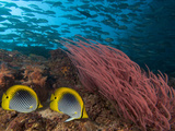 Coral Reef Scene with Schooling Jacks in the Background  Red Alcyonarian Corals