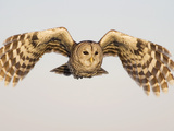 Barred Owl  Strix Varia  in Flight  USA