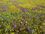 Owl's Clover (Orthocarpus Purpurascens) and Goldfields (Lasthenia) Carrizo Plain National Monument