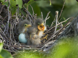 Green Heron (Butorides Virescens) Chicks in Nest and One Unhatched Egg  Florida  USA
